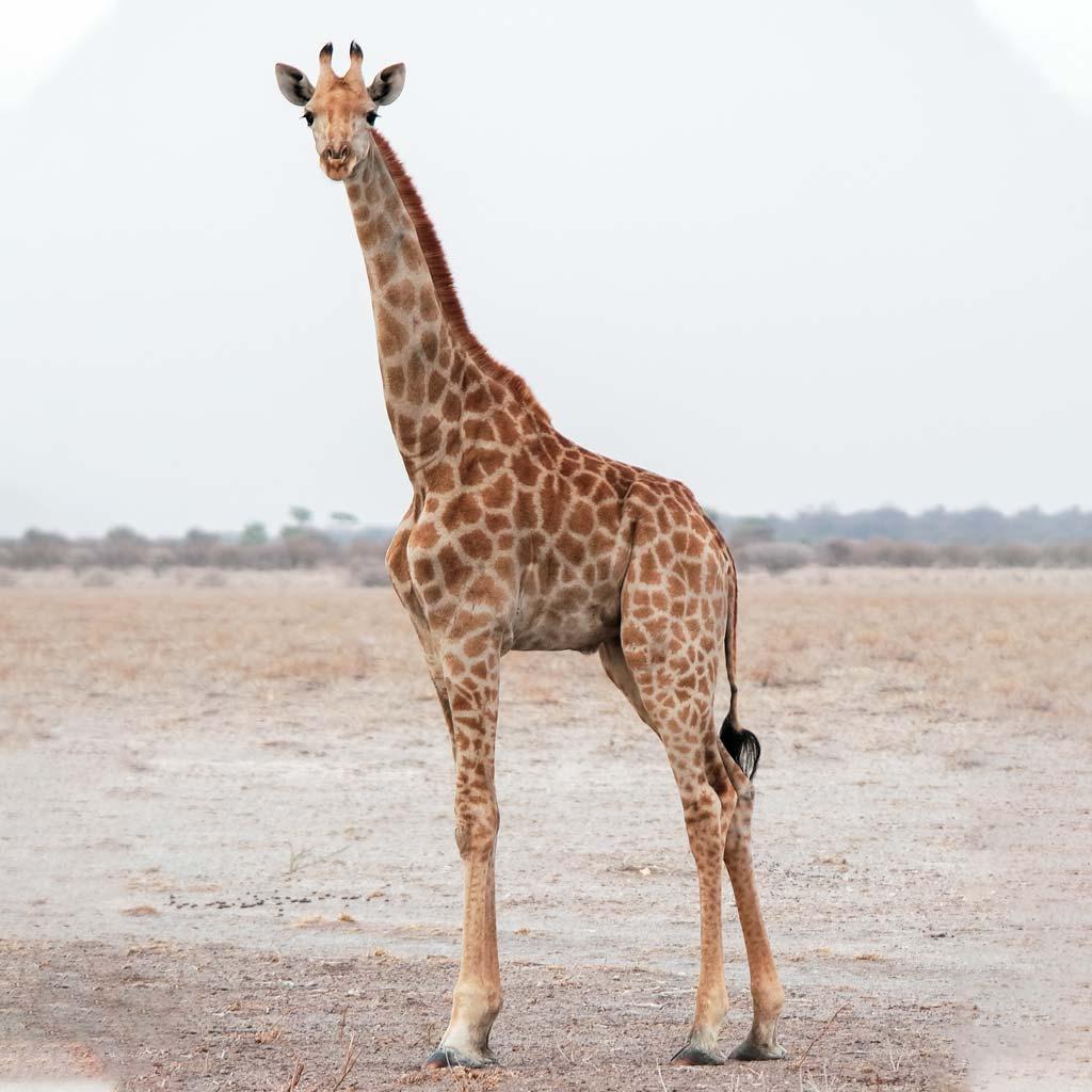 بلندترین حیوان خشکی